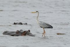 Grey Heron on a Hippo Stock Images