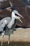 Grey heron and his fish. Grey heron swallowing a freshly caught fish Royalty Free Stock Photo