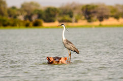 A Grey Heron hitching a ride Stock Image