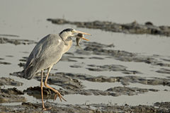 Grey Heron Holding Fish Royalty Free Stock Images