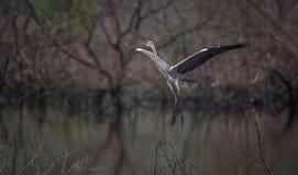 Grey Heron Hovering Fotografia Stock
