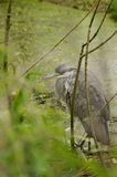 Grey heron. Hunched down in wooded swamp Stock Photos