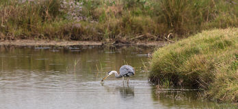Grey Heron with hunted vole Stock Images