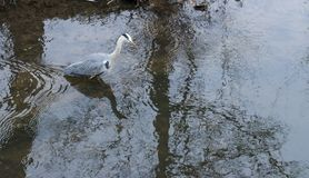Grey Heron hunting stock photography