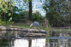 Grey heron hunting. For fish fro dead tree. Image taken in Oakville gallery park on a flooded area.The Great lake Ontario on background behind tree. City of Royalty Free Stock Images
