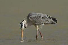 Grey Heron hunting Stock Image