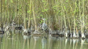 Grey Heron Hunting stock footage