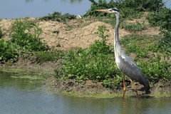 Grey heron hunting. In the marshes European Royalty Free Stock Photo