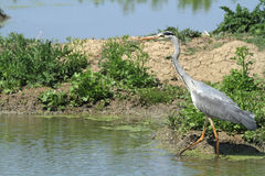 Grey heron hunting. In the marshes European Stock Images