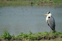 Grey heron hunting. In the marshes European Stock Photography