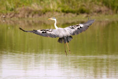 Grey heron hunting. In the marshes European Royalty Free Stock Photos