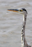 Grey heron hunting. In the marshes European Stock Image