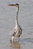Grey heron hunting. In the marshes European Stock Photo