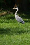 Grey heron hunting at riverside Stock Photo