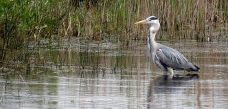 Grey Heron hunting Stock Image