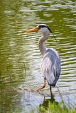 Grey Heron hunts. A grey heron seeking fish in a pond in a park Royalty Free Stock Image