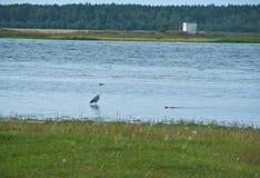 Grey heron hunts Royalty Free Stock Photos