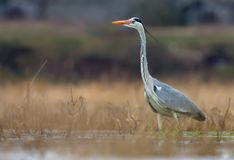 Grey Heron hunts in water pond amidst dry yellow grass stock images