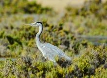 Grey Heron i buskenollan lagun Fotografering för Bildbyråer