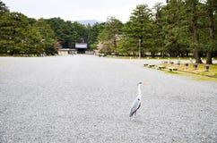 Grey Heron i den Kyoto Gyoen trädgården, Kyoto Arkivbilder