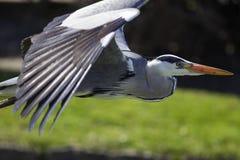 Grey Heron i flykten Fotografering för Bildbyråer