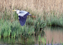 Free Grey Heron In Flight Stock Image - 19245111