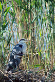 Grey Heron and its baby in the nest. Grey Heron and her baby in the nest among the reeds Royalty Free Stock Photo