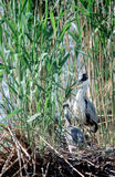 Grey Heron and its baby on the nest Stock Photo