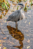 Grey heron and its shadow on water surface. Gillingham, United Kingdom - November 1st, 2015: Grey heron and its shadow on water surface in Capstone farm country royalty free stock image