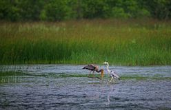 Grey Heron and Juvenile Painted Stork Royalty Free Stock Images