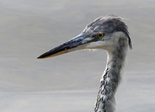 Grey heron (juvenile) Royalty Free Stock Photography