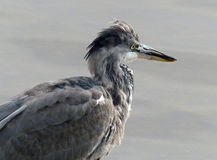 Grey heron (juvenile) Royalty Free Stock Photo