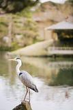 Grey Heron in Korakuen Garden in Okayama Stock Images