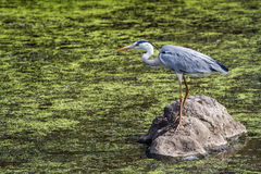 Grey Heron in Kruger National park, South Africa Stock Photos
