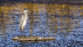 Grey Heron  in Kruger National park, South Africa Royalty Free Stock Photos