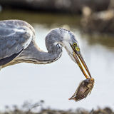 Grey heron in Kruger National park, South Africa Stock Images