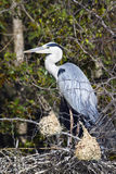 Grey Heron in Kruger National park Stock Photo