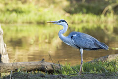 Grey Heron in Kruger National park Royalty Free Stock Photos