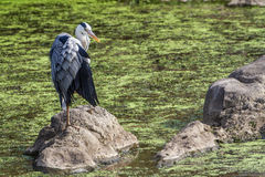 Grey Heron in Kruger National park Royalty Free Stock Image