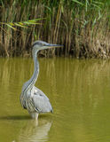 Grey Heron at lagoon Royalty Free Stock Photo