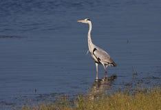 A Grey Heron at the lake Stock Images
