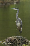 A Grey Heron on a lake Royalty Free Stock Photography