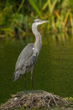 A Grey Heron on a lake Stock Images