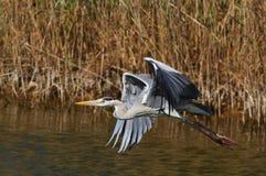 A Grey Heron on a lake Stock Image