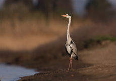 A Grey Heron on a lake Stock Photography