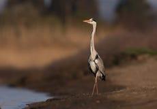 A Grey Heron on a lake Stock Photography