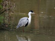 Grey Heron on the lake Stock Photos