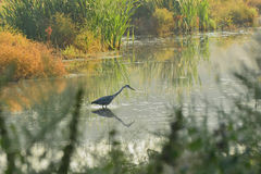 Grey Heron on the lake Royalty Free Stock Images