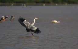 Grey Heron Landing Image libre de droits