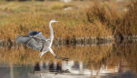 Grey Heron Landing Stock Photo